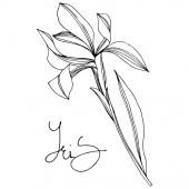 Iris floral botanical flowers Black and white engraved ink art Isolated irises illustration element