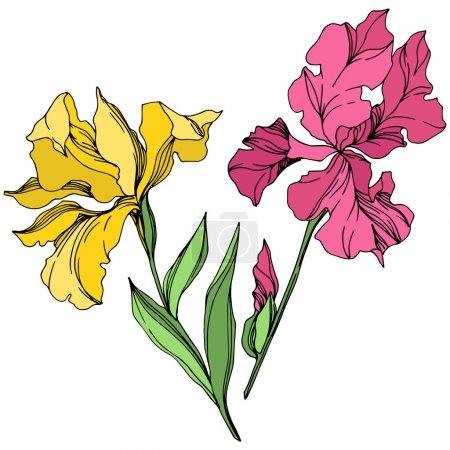 Illustration for Iris floral botanical flowers. Wild spring leaf wildflower isolated. Black and white engraved ink art. Isolated irises illustration element on white background. - Royalty Free Image