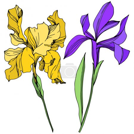 Illustration for Iris floral botanical flowers. Wild spring leaf wildflower isolated. Black and white engraved ink art. Isolated irises illustration element on white background. - Royalty Free Image