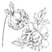 Peony botanical flowers Wild spring leaf Black and white engraved ink art Isolated peonies illustration element