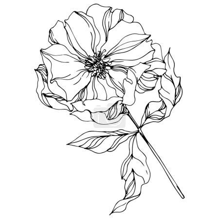 Peony botanical flowers. Wild spring leaf. Black and white engraved ink art. Isolated peonies illustration element.