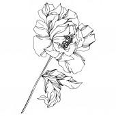 """Постер, картина, фотообои """"Пеонские ботанические цветы. Дикий весенний лист. Черно-белые выгравированные чернила искусства. Изолированные пионы иллюстрация элемент."""""""