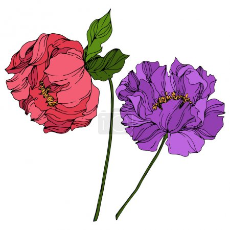 Illustration for Peony floral botanical flowers. Wild spring leaf wildflower isolated. Engraved ink art. Isolated peonies illustration element on white background. - Royalty Free Image