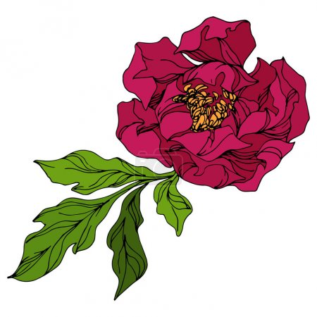 Illustration for Peony floral botanical flowers. Wild spring leaf wildflower isolated. Red and green engraved ink art. Isolated peonies illustration element on white background. - Royalty Free Image