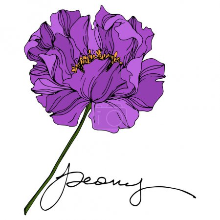 Illustration for Peony floral botanical flowers. Wild spring leaf wildflower isolated. Purple and green engraved ink art. Isolated peonies illustration element on white background. - Royalty Free Image