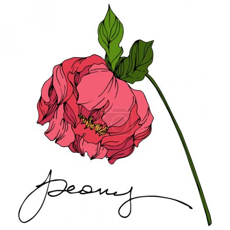 Peony floral botanical flowers. Wild spring leaf wildflower. Engraved ink art. Isolated peonies illustration element.
