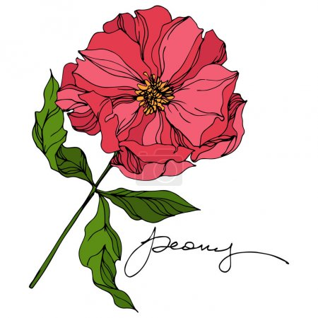 Illustration for Peony floral botanical flowers. Wild spring leaf wildflower isolated. Pink and green engraved ink art. Isolated peonies illustration element on white background. - Royalty Free Image