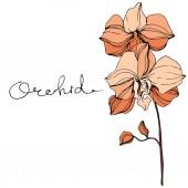 Vector Orange orchid Floral botanical flower Engraved ink art Isolated orchid illustration element