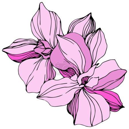 Illustration pour Vecteur Orchidée rose. Fleur botanique florale. Feuille sauvage de printemps fleur sauvage isolée. Encre gravée. Élément d'illustration d'orchidée isolé . - image libre de droit