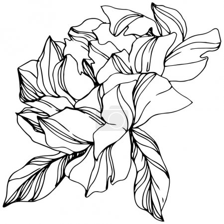 Illustration for Vector Peony floral botanical flower. Wild spring leaf wildflower isolated. Black and white engraved ink art. Isolated peony illustration element. - Royalty Free Image