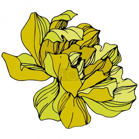 Illustration for Vector Yellow peony. Floral botanical flower. Wild spring leaf wildflower isolated. Engraved ink art. Isolated peony illustration element. - Royalty Free Image