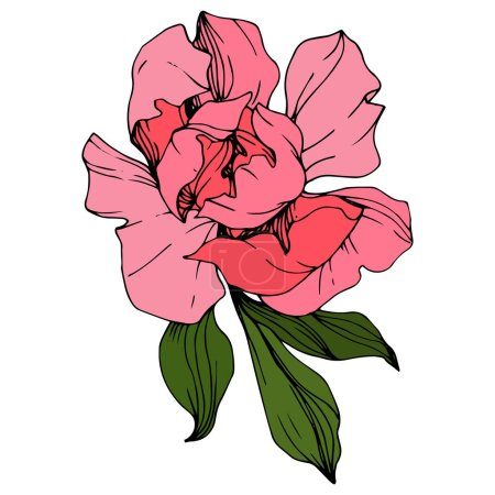 Illustration for Vector Pink peony. Floral botanical flower. Wild spring leaf wildflower isolated. Engraved ink art. Isolated peony illustration element. - Royalty Free Image