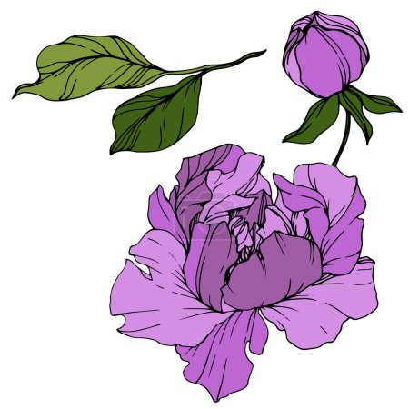Illustration for Vector Purple peony. Floral botanical flower. Wild spring leaf wildflower isolated. Engraved ink art. Isolated peony illustration element. - Royalty Free Image