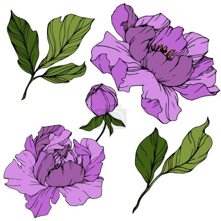 Illustration for Vector Purple peony. Floral botanical flower. Wild spring leaf wildflower isolated. Engraved ink art. Isolated peony illustration element. - Royalty Free Image