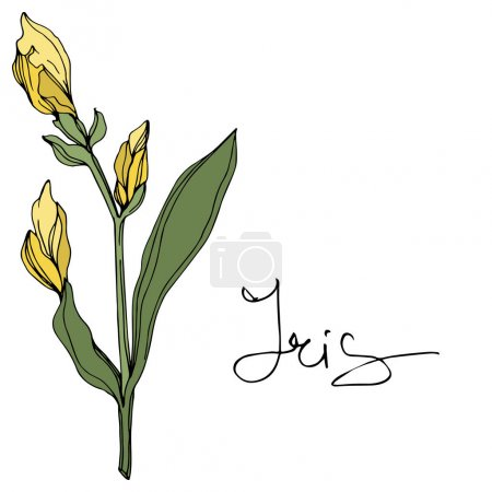 Illustration for Vector Yellow iris. Floral botanical flower. Wild spring leaf wildflower. Engraved ink art. Isolated iris illustration element. - Royalty Free Image