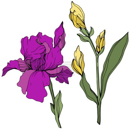 Illustration for Vector Yellow and purple iris. Floral botanical flower. Wild spring leaf wildflower. Engraved ink art. Isolated iris illustration element. - Royalty Free Image