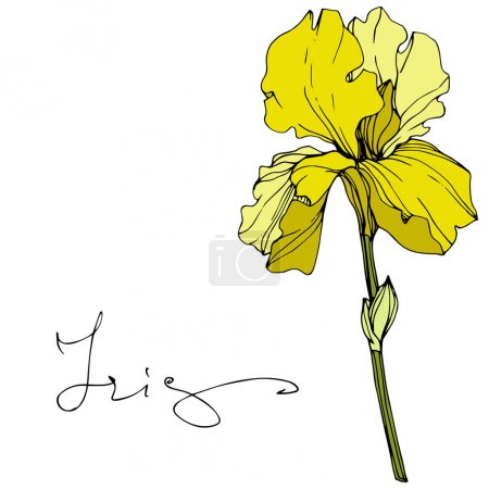 Illustration for Vector Yellow iris floral botanical flower. Wild spring leaf wildflower isolated. Engraved ink art. Isolated iris illustration element. - Royalty Free Image