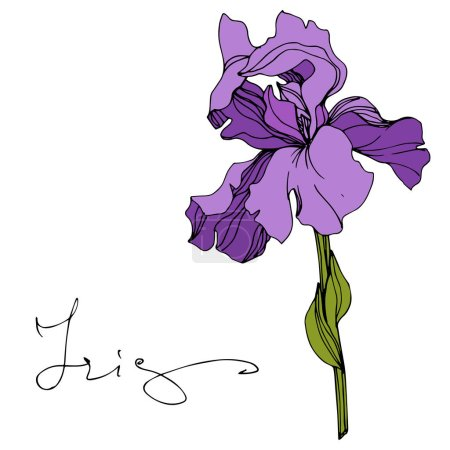 Illustration for Vector Purple iris floral botanical flower. Wild spring leaf wildflower isolated. Engraved ink art. Isolated iris illustration element. - Royalty Free Image