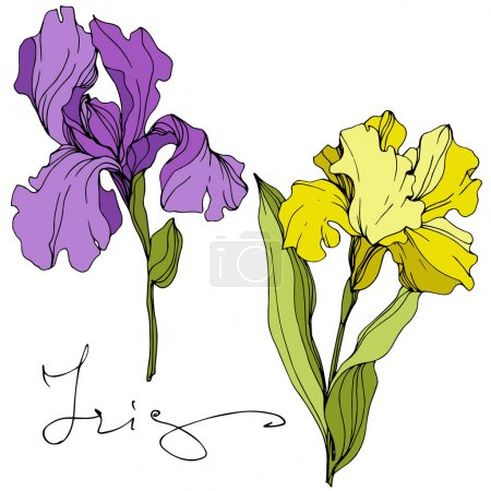 Illustration for Vector Purple and yellow iris floral botanical flower. Wild spring leaf wildflower isolated. Engraved ink art. Isolated iris illustration element. - Royalty Free Image