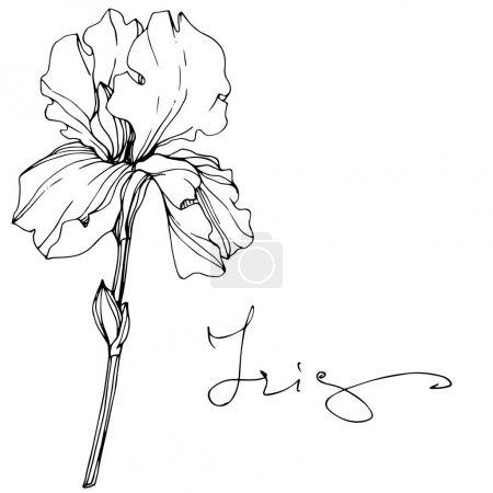 Illustration pour Vecteur Iris fleur botanique florale. Feuille sauvage de printemps fleur sauvage isolée. Encre gravée en noir et blanc. Élément d'illustration d'iris isolé . - image libre de droit