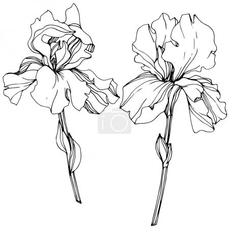 Illustration for Vector Iris floral botanical flower. Wild spring leaf wildflower isolated. Black and white engraved ink art. Isolated iris illustration element. - Royalty Free Image