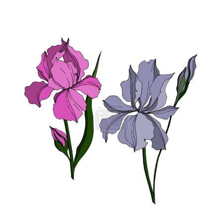 Illustration for Vector Iris floral botanical flowers. Wild spring leaf wildflower isolated. Black and white engraved ink art. Isolated irises illustration element jn white background. - Royalty Free Image