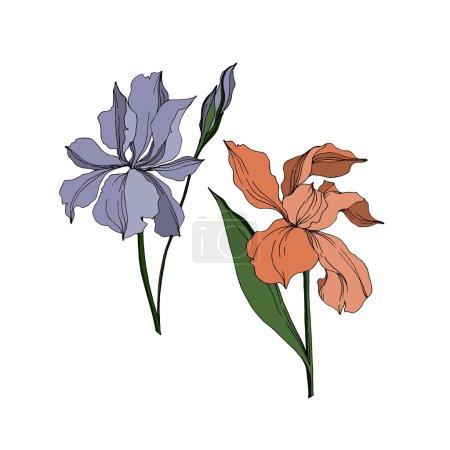 Illustration pour Vecteur Iris fleurs botaniques florales. Feuille sauvage de printemps fleur sauvage isolée. Encre gravée en noir et blanc. Iris isolé élément d'illustration jn fond blanc . - image libre de droit