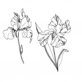 Vector Iris floral botanical flowers Black and white engraved ink art Isolated irises illustration element