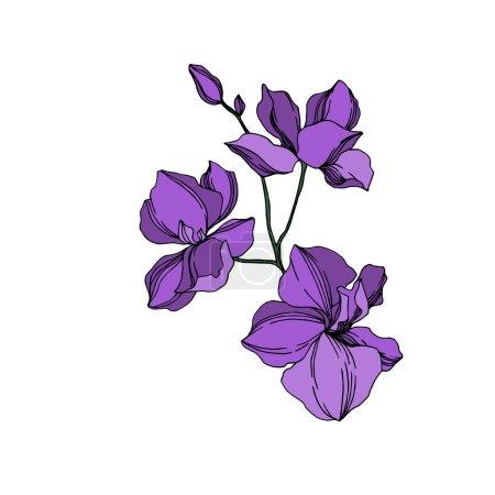 Illustration pour Fleurs botaniques florales d'orchidée vectorielle. Fleur sauvage de neige sauvage de feuille de source d'isolement. Art d'encre gravé noir et violet. Élément d'illustration d'orchidées d'isolement sur le fond blanc. - image libre de droit
