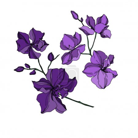 Illustration for Vector Orchid floral botanical flowers. Wild spring leaf wildflower isolated. Black and purple engraved ink art. Isolated orchids illustration element on white background. - Royalty Free Image