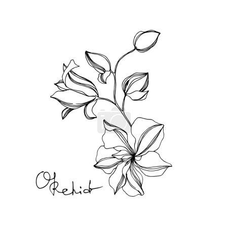 Illustration pour Fleurs botaniques florales d'orchidée de vecteur. Feuille sauvage de printemps fleur sauvage isolée. Encre gravée en noir et blanc. Elément d'illustration d'orchidées isolées sur fond blanc . - image libre de droit