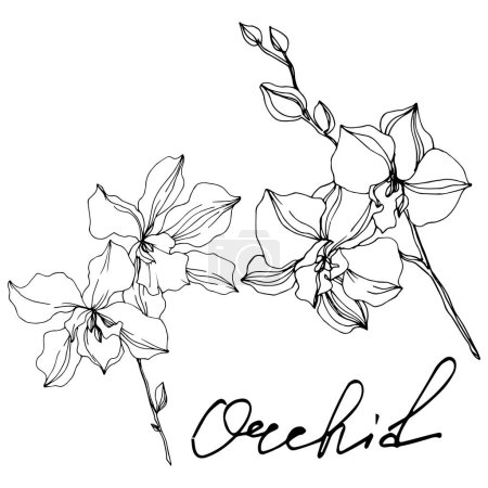 Illustration for Vector Orchid floral botanical flowers. Wild spring leaf wildflower isolated. Black and white engraved ink art. Isolated orchids illustration element on white background. - Royalty Free Image