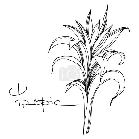 Illustration for Vector Exotic tropical hawaiian summer. Palm beach tree leaves jungle botanical. Black and white engraved ink art. Isolated leaf illustration element on white background. - Royalty Free Image