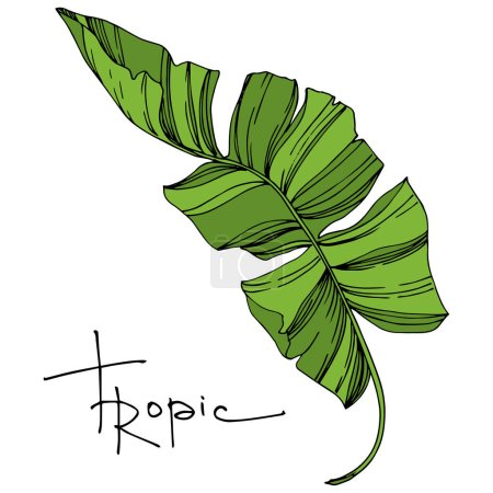 Illustration for Vector Exotic tropical hawaiian summer. Palm beach tree leaves jungle botanical plant. Black and white engraved ink art. Isolated leaves illustration element. - Royalty Free Image