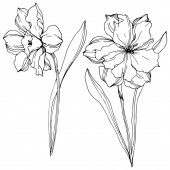 Vector Narcissus floral botanical flowers. Black and white engraved ink art. Isolated narcissus illustration element.