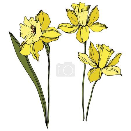 Illustration pour Vector Narcissus fleurs botaniques florales. Fleur sauvage de neige sauvage de feuille de source d'isolement. Art d'encre gravé noir et blanc. Élément isolé d'illustration de narcisse sur le fond blanc. - image libre de droit