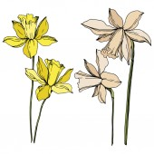 Vector Narcissus floral botanical flowers Black and white engraved ink art Isolated narcissus illustration element