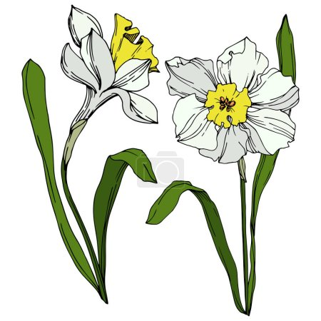 Illustration for Vector Narcissus floral botanical flower. Wild spring leaf wildflower isolated. Black and white engraved ink art. Isolated narcissus illustration element on vhite background. - Royalty Free Image