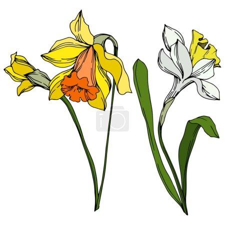 Ilustración de Flor botánica floral Vector Narcissus. Hoja de primavera silvestre wildflower aislado. Arte de tinta grabada en blanco y negro. Elemento de ilustración narciso aislado sobre fondo vhite. - Imagen libre de derechos