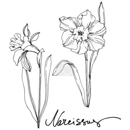 Illustration pour Fleur botanique florale de Vector Narcissus. Fleur sauvage de neige sauvage de feuille de source d'isolement. Art d'encre gravé noir et blanc. Élément isolé d'illustration de narcisse sur le fond de vhite. - image libre de droit
