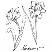 Vector Narcissus floral botanical flower Black and white engraved ink art Isolated narcissus illustration element
