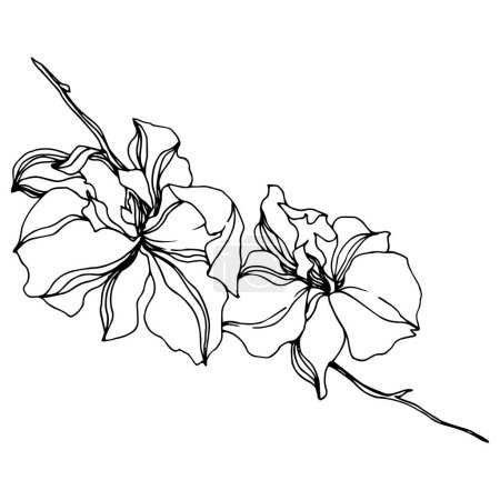 Illustration for Orchid floral botanical flowers. Wild spring leaf wildflower isolated. Black and white engraved ink art. Isolated orchids illustration element on white background. - Royalty Free Image