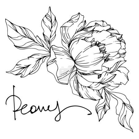 Illustration for Peony floral botanical flowers. Wild spring leaf wildflower isolated. Black and white engraved ink art. Isolated peonies illustration element on white background. - Royalty Free Image
