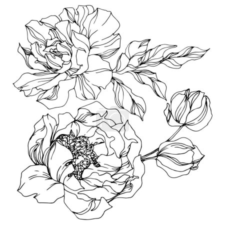 Peony floral botanical flowers. Black and white engraved ink art. Isolated peonies illustration element.