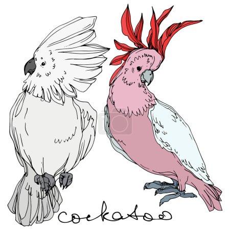 Illustration pour Vector Cacatoès des oiseaux du ciel dans une faune sauvage. Liberté sauvage, oiseau aux ailes volantes. Encre gravée en noir et blanc. Elément d'illustration isolé de perroquet sur fond blanc . - image libre de droit