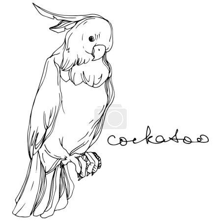 Illustration pour Cacatoès d'oiseau de ciel de vecteur dans une faune. Liberté sauvage, oiseau avec des ailes volantes. Art d'encre gravé noir et blanc. Élément d'illustration de perroquet d'isolement sur le fond blanc. - image libre de droit