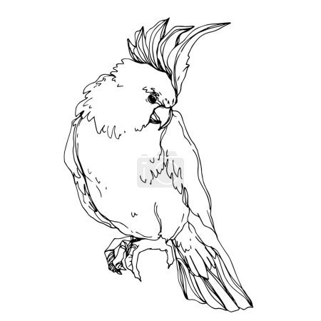 Illustration for Vector Sky bird cockatoo in a wildlife isolated. Wild freedom, bird with a flying wings. Black and white engraved ink art. Isolated parrot illustration element. - Royalty Free Image