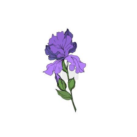 Illustration pour Fleurs botaniques florales de Vector Iris. Fleur sauvage de neige sauvage de feuille de source d'isolement. Art d'encre gravé noir et blanc. Élément d'illustration d'iris d'isolement sur le fond blanc. - image libre de droit