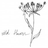 Vector Wildflowers floral botanical flowers Black and white engraved ink art Isolated flowers illustration element