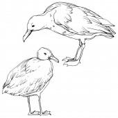 """Постер, картина, фотообои """"Вектор Небо птица чайка в дикой природе изолированы. Черно-белые выгравированные чернила искусства. Изолированный элемент иллюстрации чайки."""""""